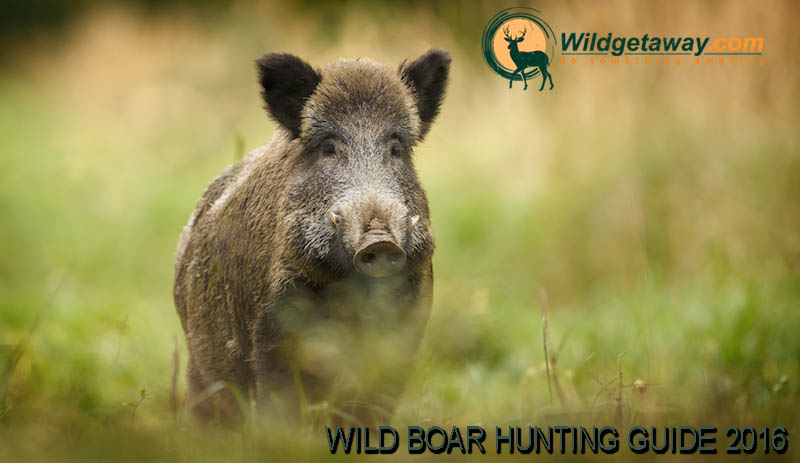 wild boar ultimate hunting guide