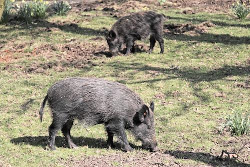 how to find wild boar